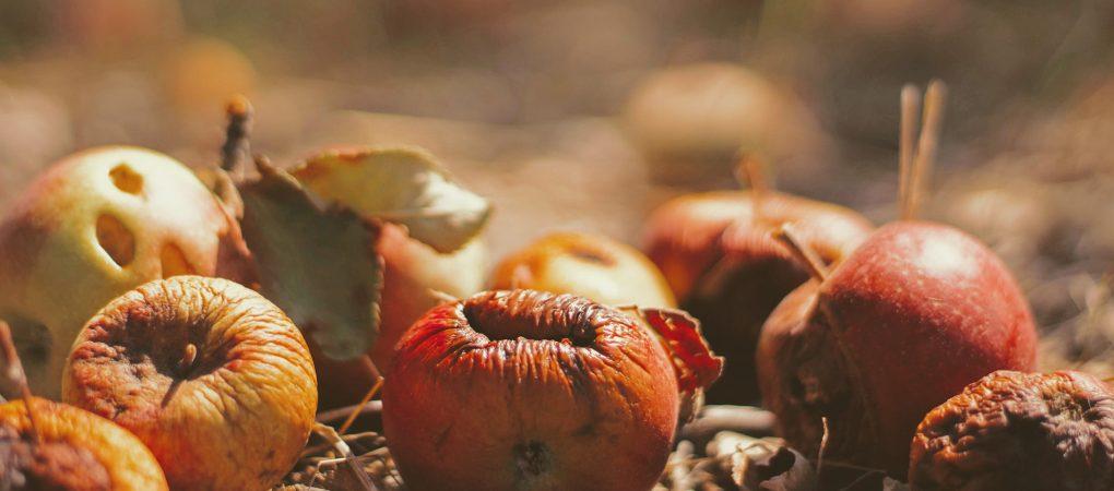 Jabłka leżące między liśćmi